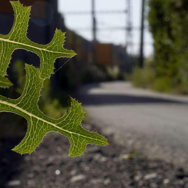 Light passes through the leaf