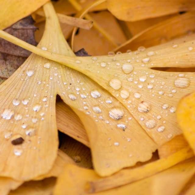 Yellow gingko leaves raindrops
