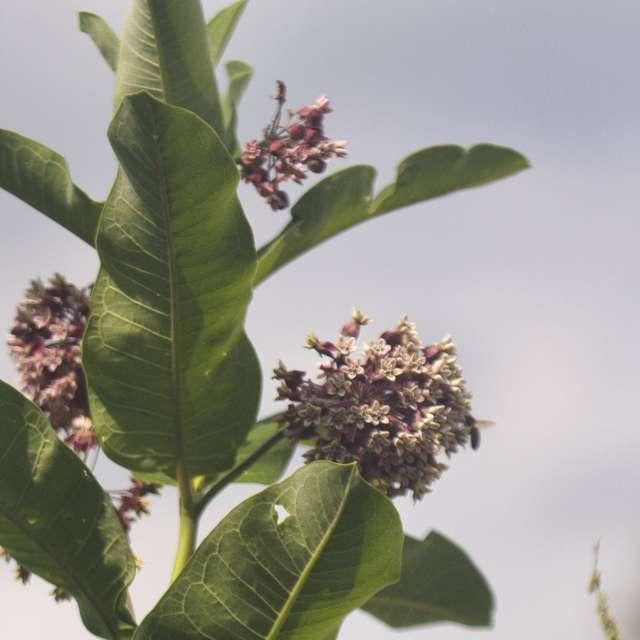 Distant bee on milkweed