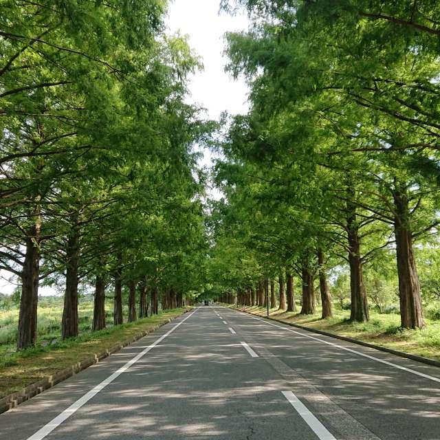 滋賀県マキノ高原  メタセコイヤ並木