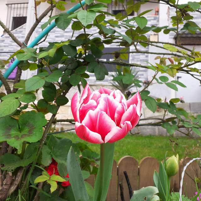 Rosa rojiblanca