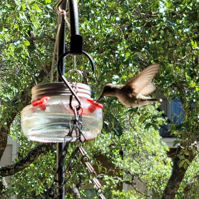 Hummingbird in morning sun