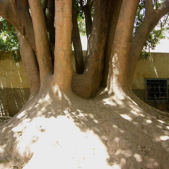 Tree in Essaouira  in Morocco