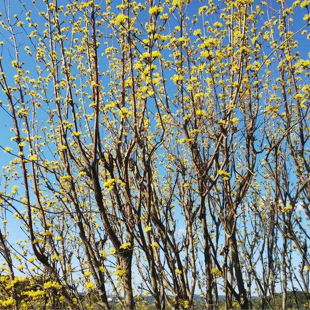 春の色  サンシュユ