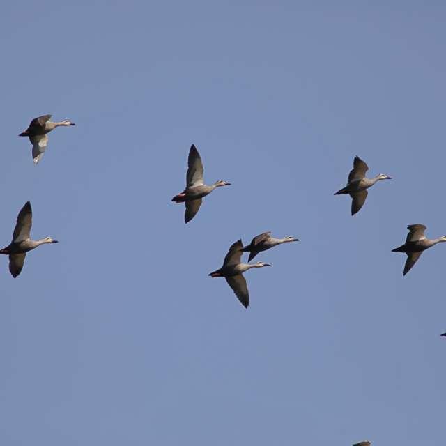 空を飛ぶカルガモの群れ