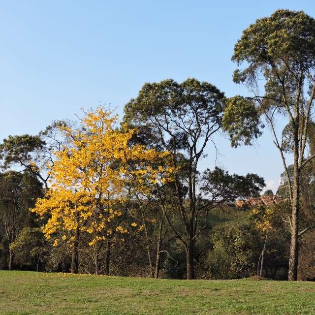 Árvores de Caçador Brasil