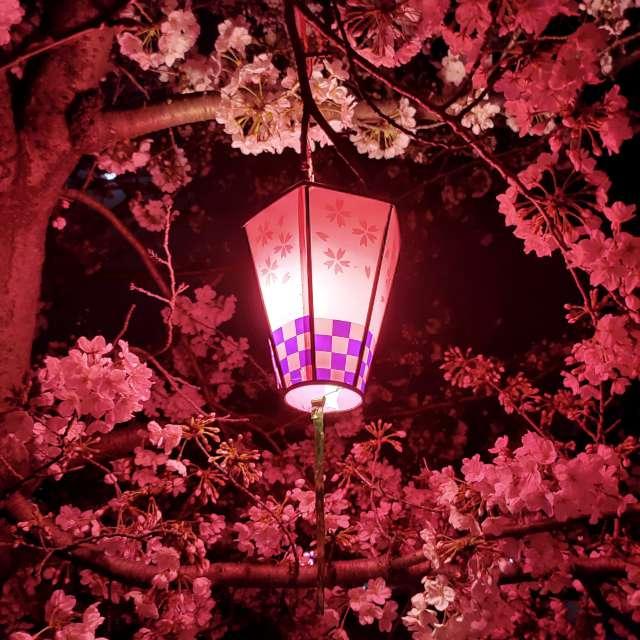 ピンクに照らされた桜
