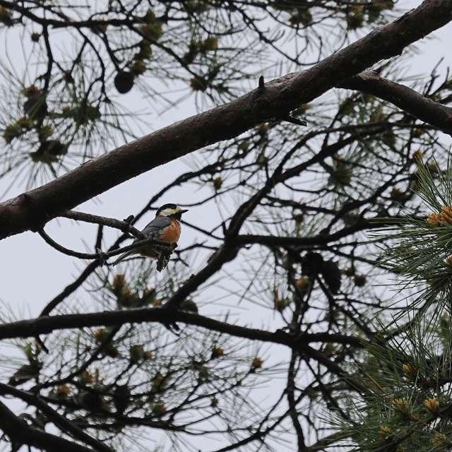 松の木の上のヤマガラ