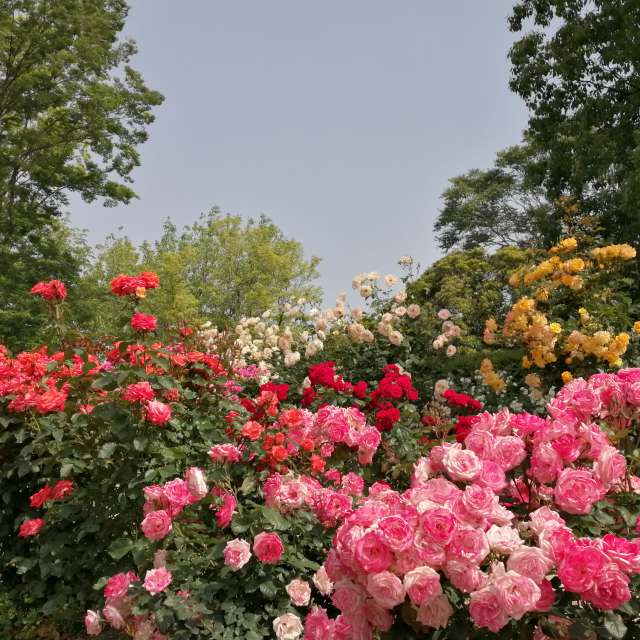 blossom comes @ rose garden