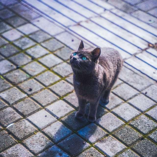 ギリシャ 猫 青い目