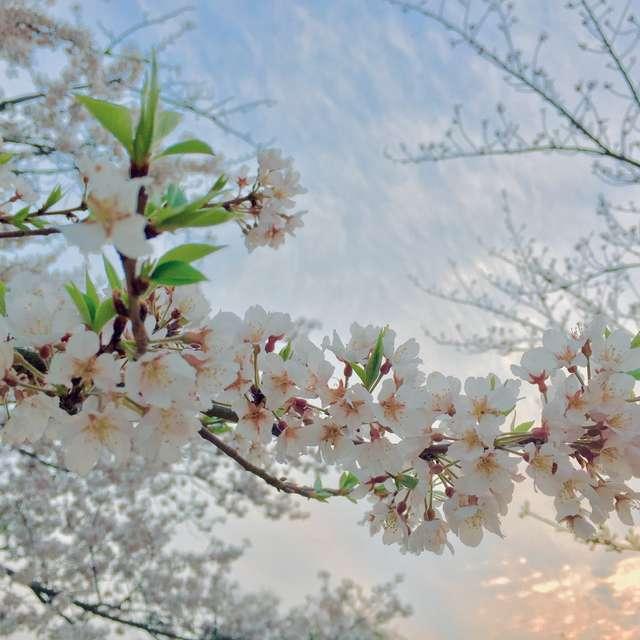 桜月の夕景