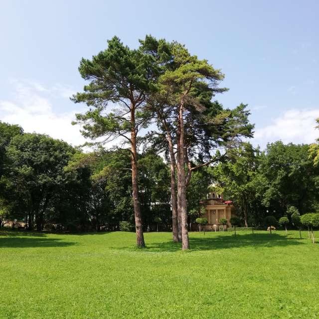 Сосны в Курортном парке