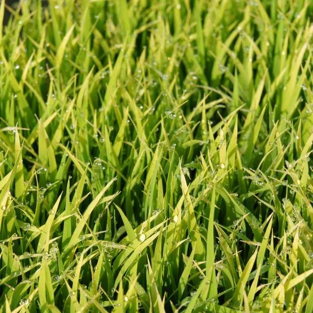 朝露の稲の苗