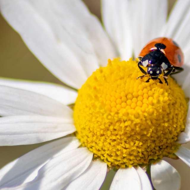 Ladybug on marguerite blossom