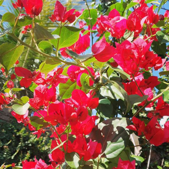 Bougainville in the garden