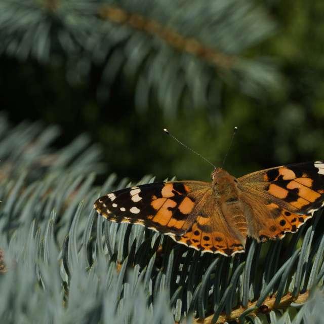 Butterfly on spruce.
