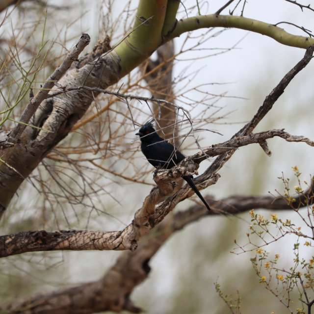 Phainopepla in Palo Verde
